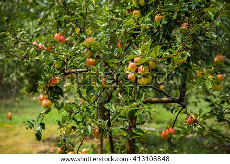 Apple trees in the garden - stock photo
