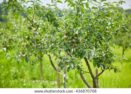 Apple trees in the orchard almost at harvest time - stock photo