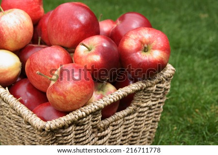 Apple variety Malus domestica Discovery at harvest time - stock photo