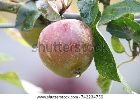 Apple with raindrop and ready for picking