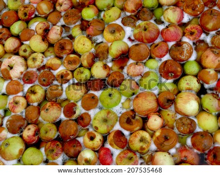 apples floating in water for preparing cider - stock photo