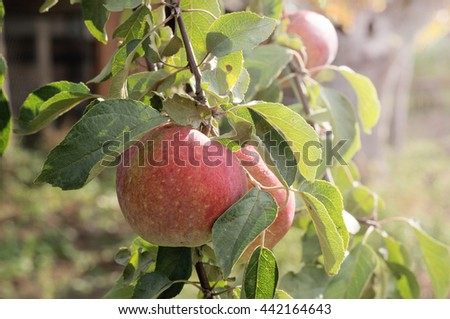 Apples growing on a tree branch
