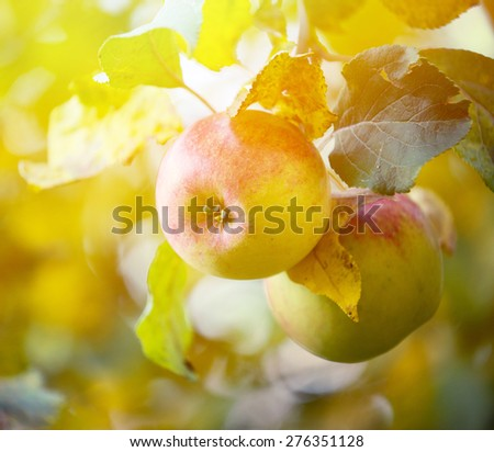 Apples hanging on tree - stock photo