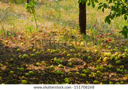 Apples have fallen from the tree in the garden - stock photo