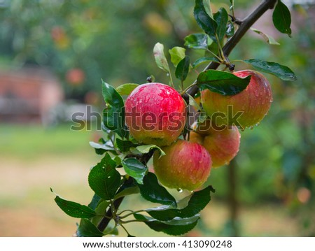 Apples on a branch - stock photo