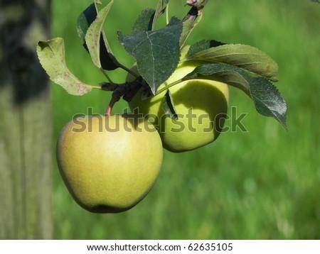 Apples on apple tree - stock photo