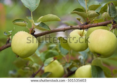 Apples on the branch