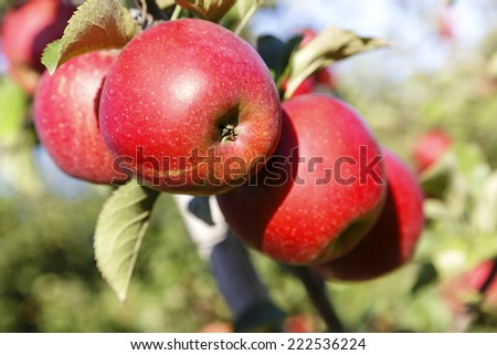 Apples on the tree in the orchard in the fall before harvest - stock photo