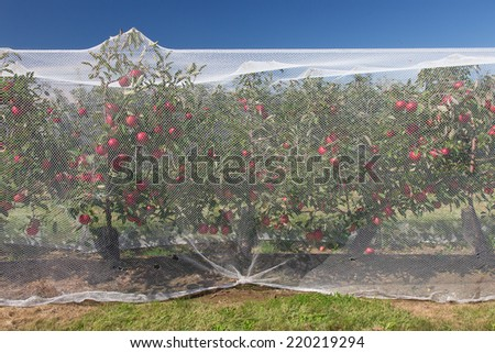 Apples on the vine protected by a net