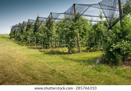Apples on the vine protected by a net - stock photo