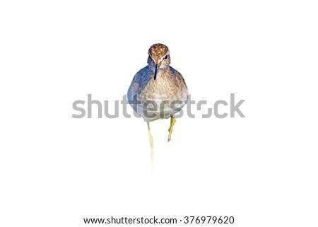 approaching bird isolated on white Wood Sandpiper / Tringa glareola - stock photo