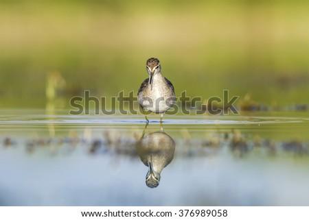 approaching bird Wood Sandpiper / Tringa glareola - stock photo