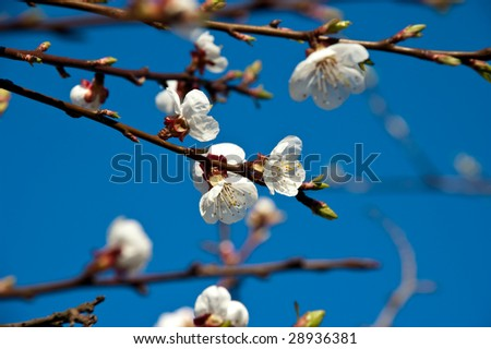 apricot bloom on sky background