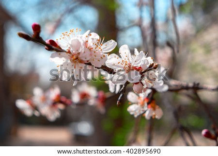 Apricot blossom. Apricot tree branch covered with flowers, seasonal floral nature background, shallow depth of field, selective focus. - stock photo
