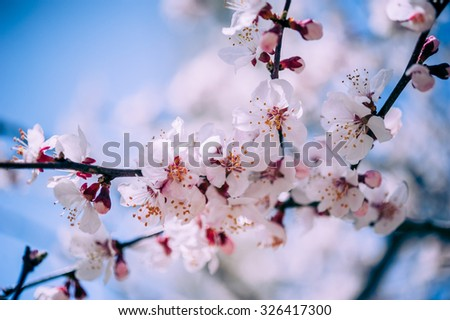 Apricot blossom in Pakistan