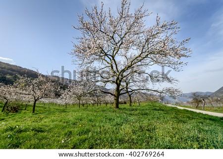 apricot blossom in Wachau Austria