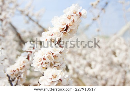 apricot blossoming branch on light background
