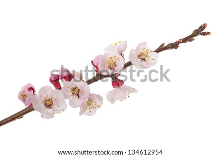 Apricot branch in flowers isolated on white
