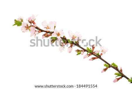 Apricot branch with flowers isolated on white background