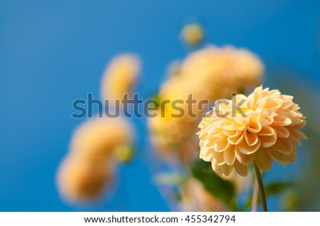 Apricot-colored dahlias against blue sky; Herbaceous perennial plant; Flower greeting card - stock photo