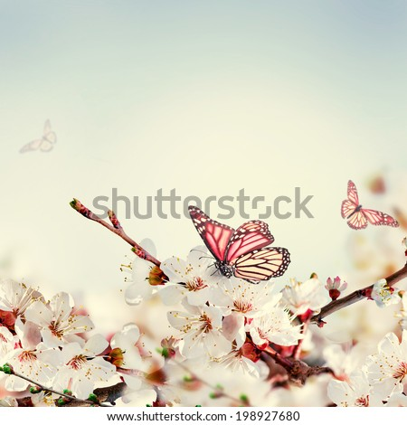 Apricot flowers in spring, floral background - stock photo