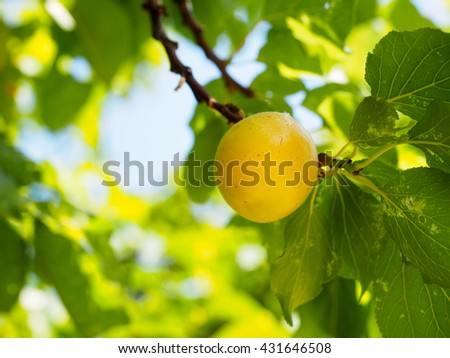 Apricot fruit is beautiful,