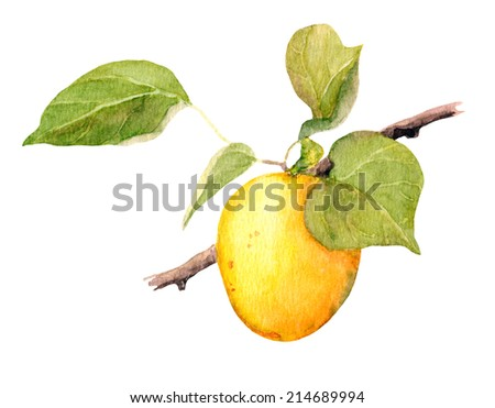 Apricot fruit. Watercolor illustration