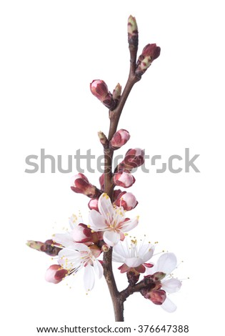 Apricot in blossom isolated on white.