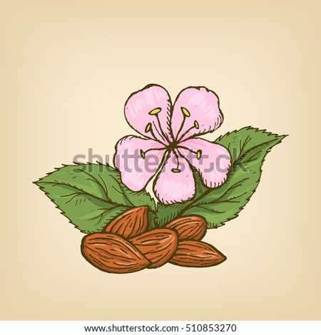 Apricot kernel with leaves and a flower. illustration. Hand drawn illustration.