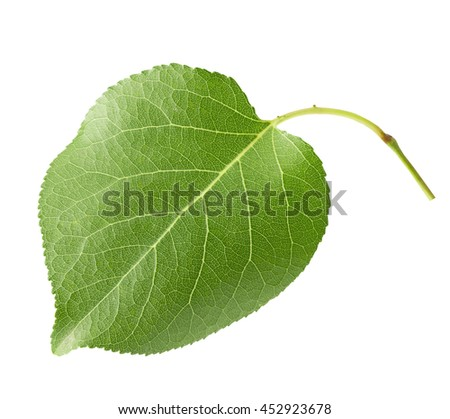 apricot leaf isolated on the white background
