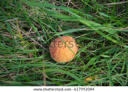 Apricot on green grass