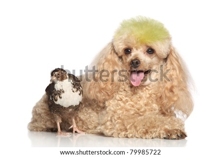 Apricot poodle with quail lying on a white background - stock photo