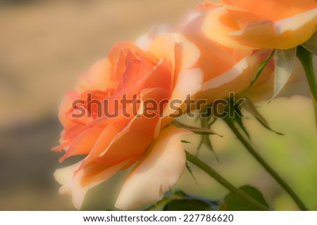 apricot rose flowers suitable for sympathy, condolence, funeral or mourning sad greeting card background - stock photo