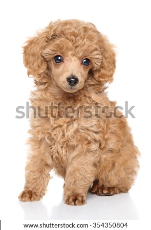 Apricot toy Poodle puppy sits in front of white background - stock photo