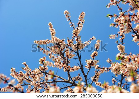 Apricot tree branch with flowers. Blooming tree branch with pink and white flowers. Floral flowers modern background with vintage branch tree with beautiful flowers. Vintage flowers background. - stock photo