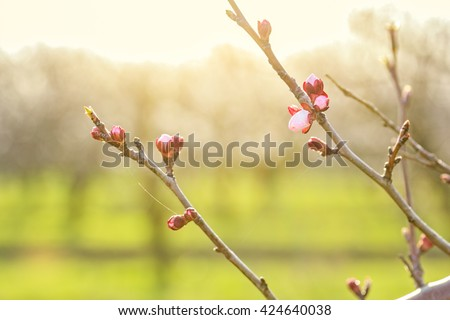 Apricot tree branches with flower buds at sunset on a blurred background orchard, backlit. Selective focus - stock photo