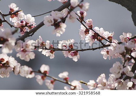 Apricot tree flower, seasonal floral nature background, shallow depth of field - stock photo