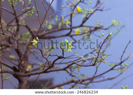 Apricot tree flower with buds blooming at springtime - stock photo