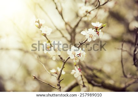 Apricot tree flower with buds blooming at springtime, sunny vintage retro floral background