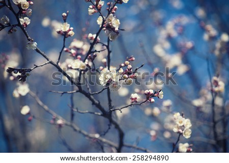 Apricot tree flower with buds blooming at springtime, vintage retro floral easter background - stock photo