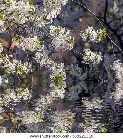Apricot tree flower with buds blooming at sptingtime and water reflection, vintage retro floral background - stock photo