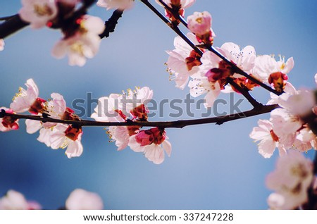 Apricot tree flower with buds blooming at sptingtime, vintage retro floral background, shallow depth of field - stock photo