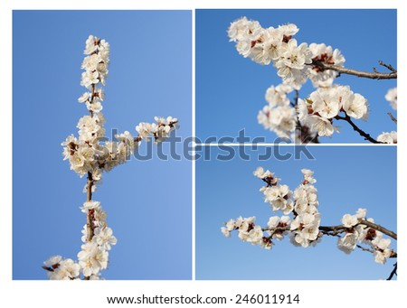 Apricot tree flowers. Spring white flowers on a tree branch. Apricot tree in bloom. Spring, seasons, time of year. White flowers of apricot tree against the blue sky.
