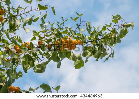 apricot tree with ripe fruits