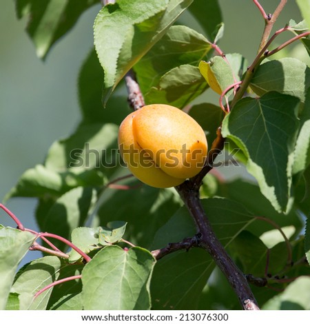 apricots on the tree in nature - stock photo