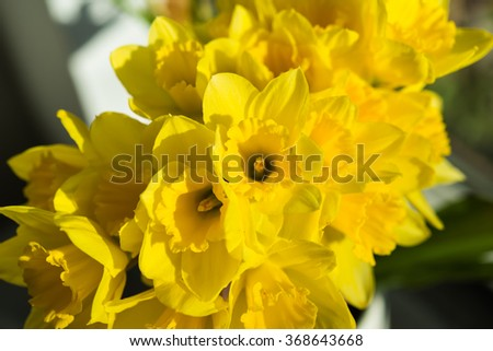 April blooming Narcissi flowers arranged in vase for interior decoration Daffodil, yellow flower in the Amaryllidaceae amaryllis familiy. Used for fragrances, medicinal plant as traditional medicines - stock photo