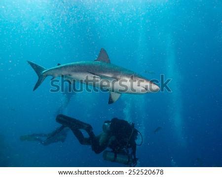 aqualungers and Caribbean reef sharks (Carcharhinus perezi) - stock photo