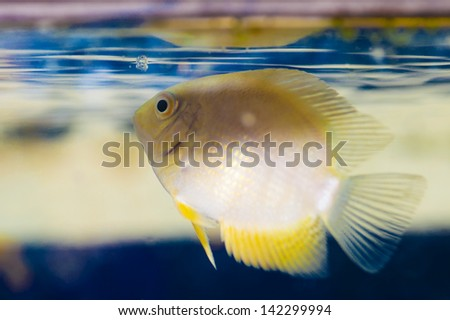 aquarian small fish - stock photo