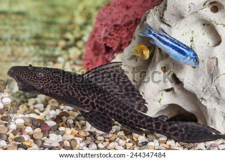 Aquarium Catfish, Hypostomus plecostomus, rests at bottom of aquarium - stock photo