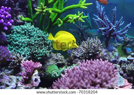 Aquarium corals reef Zebrasoma Flavescens - stock photo